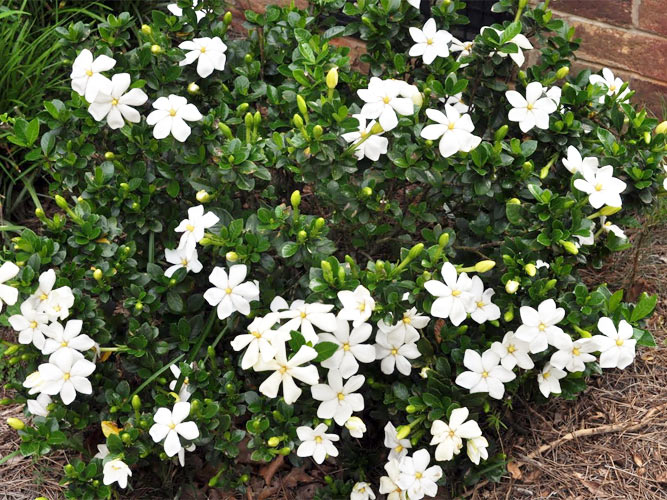 fragrant plants archives  ponseti landscaping, Natural flower