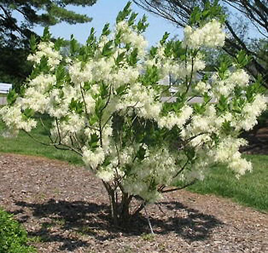 Parsley hawthorn ponseti landscaping for Ornamental trees that grow in shade