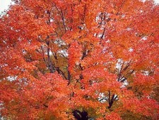 Swamp Red Maple