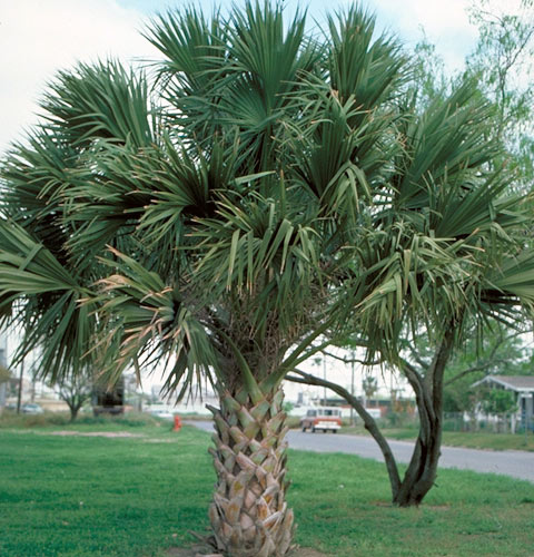 Palms Click Pictures For Larger Images Ponseti Landscaping