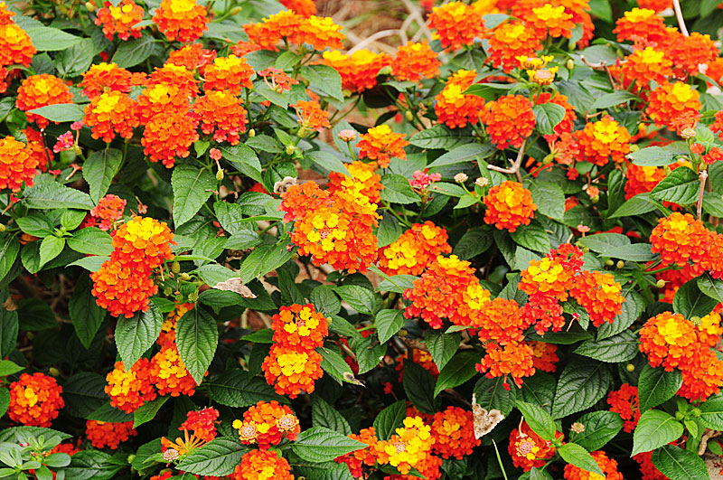 Lantana Net Worth