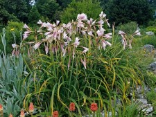 Swamp Lily