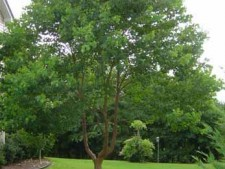 chinese-tallowtree