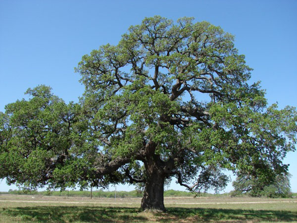 What Plants Grow Under Live Oak Trees : Evergreen large trees archives ponseti landscaping