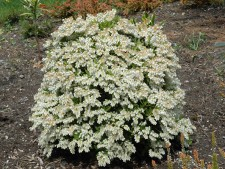 Japanese Pieris