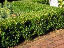 Littleleaf Boxwood
