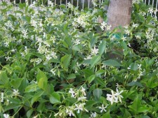 Night_Blooming_Jasmine