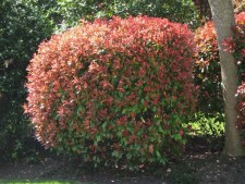 Photinia, redtip