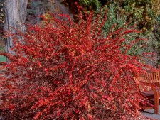 Red Leaf Barberry