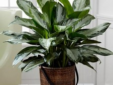 chineseevergreen