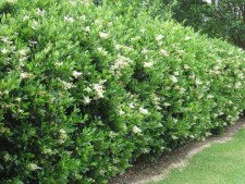 ligustrum-hedge