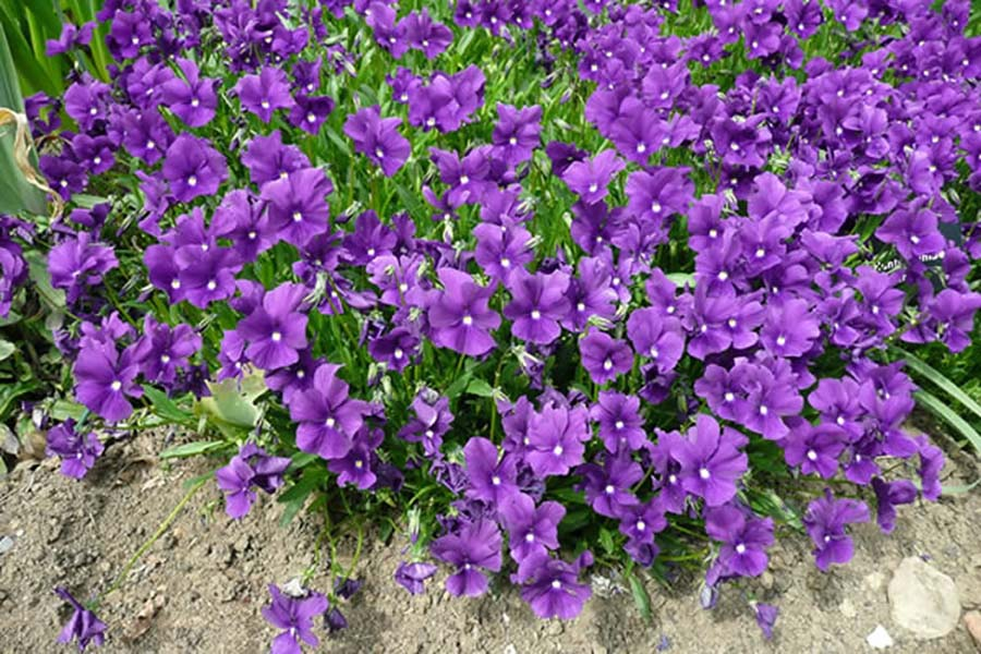 Cool season annuals archives ponseti landscaping for Cool low maintenance plants